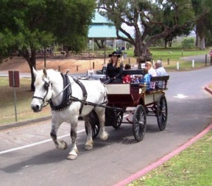 Gray Percheron draft horse pulling wagon